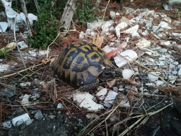 Żółw w Sutomore